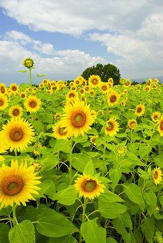 sunnyheads