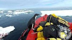 #Watch this cheeky penguin hop aboard a research boat in Antarctica - BT Sport: BT Sport Watch this cheeky penguin hop aboard a research…