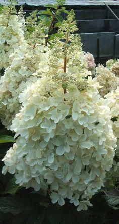 "Hydrangea paniculata ""Pinky Winky""                                                                                                                                                      Plus"