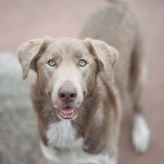 'Maddie' a Husky & Weimaraner mix. This dog might have its blue eyes from the Weimaraner's isabella coat, or from the Husky's blue eye gene, or both... It looks really interesting, though!