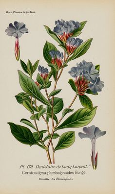 Antique print 1896 BOTANICAL print blue by TwoCatsAntiquePrints