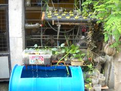 Back Yard Tilapia Farming Aquaponics Aquaponics: A system of aquaculture in which the waste produced by farmed fish or other aquatic animals supplies nutrients for plants grown hydroponically, which in turn purify the water. Visit my personal aquaponics setup at www.davaoaquaponics.com.