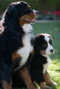 Bernese Mountain Dog (and puppy)