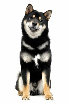 Shiba Inu by Tomoaki Yoshimi on - this is a very nice portrait of a black and tan. Cute Puppies, Cute Dogs, Dogs And Puppies, Cute Baby Animals, Funny Animals, Shiba Inu Black, Pilou Pilou, Sweet Dogs, Japanese Dogs