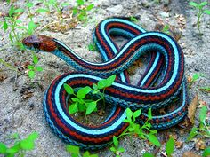 Ok yeah weird that I pinned a snake but how cool are his colors combined? Neon blue morph, San Francisco Garter Snake (Thamnophis sirtalis tetrataenia)