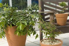 Passo a passo: como cultivar árvores frutíferas em vaso (Casa e Decoração)