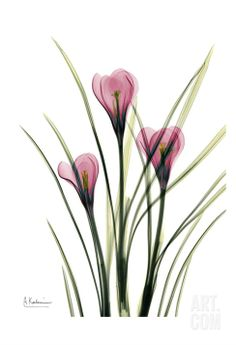 Pink Spring Crocus Print by Albert Koetsier at eu.art.com