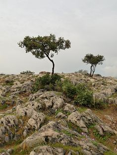 Olive trees - Peloponnisos, Greece Greek Olives, Olive Tree, Cyprus, Versailles, Fields, Cool Pictures, Roman, Greece, Art Ideas