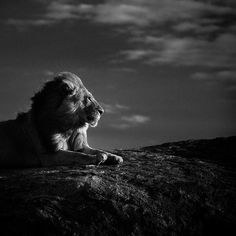5243-Lion_en_son_royaume_Tanzania_2007_Laurent_Baheux