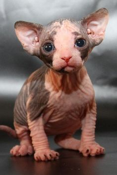 31 Hairless Sphynx Cat Pictures . Ugly or Cute?