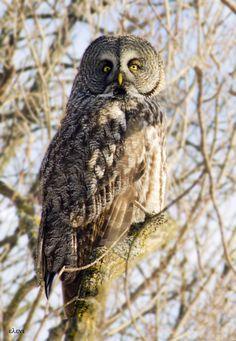 "Photo ""great grey owl "" by helene stelliou liboiron  #500px"