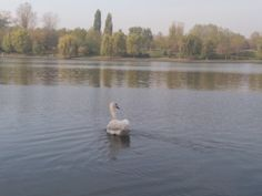 lebede pe lacul Colentina | swans on the lake  Dentist-who.ro