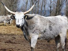 The ancient-cattle - Hungarian Grey