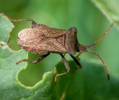 Hiába a redőny, a szúnyogháló, a poloskák a legkisebb rést is megtalálják arra, hogy bejussanak a lakásba. A kellemetlen szagú bogarak az ősz és a tél közeledtével melegebb búvóhely után néznek és a lakásban is megjelennek. Hogyan védekezhetünk ellenük?