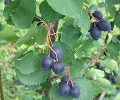 Amelanchier alnifolia 'Honeywood', bärhäggmispel/saskatoon. Härdig stor buske med söta blåa bär i augusti. Vacker under alla årstider: Höjd: 4 m.
