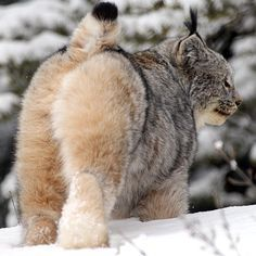 """Linx in Manitoba. Credit: Kevin Smith & Family (@wildwildwestphotography) on Instagram: """"My contribution post for World Wildlife Day Canadian Lynx-MB Canada..."""" #BigCatFamily"""