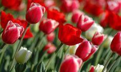 Principales bulbos de flores, primera parte - http://www.jardineriaon.com/principales-bulbos-de-flores-primera-parte.html