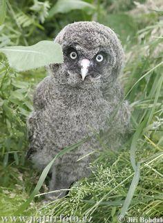 Google Image Result for http://www.naturephoto-cz.com/photos/birds/great-grey-owl-41156.jpg