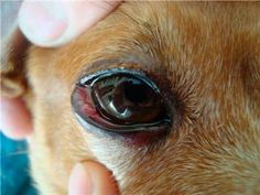 The conjunctiva is the moist tissue that covers the front part of the eyeball and lines the eyelids. Breeds that.