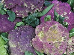 Large healthy plants produce nice-sized, beautiful purple cauliflower heads that turn bright green when cooked; very tasty. A fine Italian variety. Growing Cauliflower, Purple Cauliflower, Organic Gardening, Gardening Tips, Yellow Cucumber, Plants For Raised Beds, Raised Bed Garden Design, Garden Catalogs, Seeds Online