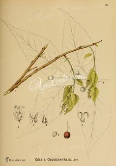 celtis occidentalis      ...