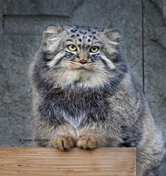 """""""A Young Manul Cat"""" - photo by Sergei Gladyshev, via Exotic Cat Breeds, Exotic Cats, Animals And Pets, Baby Animals, Cute Animals, Rare Cats, Cats And Kittens, Felis Manul, Pallas's Cat"""