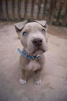 Grey pitbull puppy with blue eyes. Adorable!