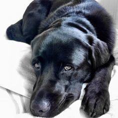Puppy eyes Black Lab / Labrador Retriever Puppies Dogs