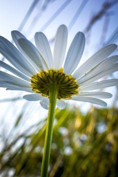 A daisy reaching up for a drop of evening sunlight