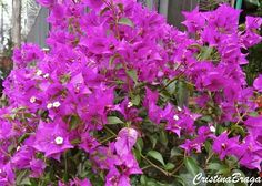 Bougainvillea - Bougainvillea spectabilis - Flores e Folhagens