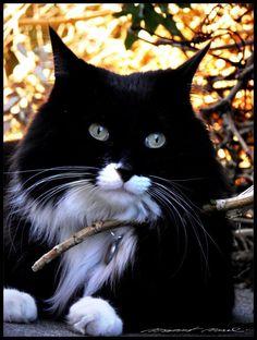 stunning black & white cat.