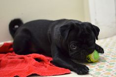 Pug says: Play wif me? Pug Pictures, Animal Pictures, Pug Pics, Dogs And Kids, All Dogs, Pug Love, I Love Dogs, Adorable Animals, Funny Animals