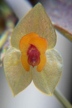 Lepanthes ovalis - Flickr - Photo Sharing!