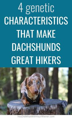 Did you know these little dogs were literally built for hiking? Well, actually, Dachshunds were bred for hunting small prey in the woods but those genetic traits and characteristics make them great trail companions.