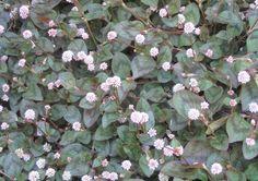 ヒメツルソバ タデ科 耐寒性多年草 這性 観賞期:周年  開花期:4~11月  花色:ピンク  草丈:5cm 日なたと水はけのよい用土を好みます。とても丈夫でカーペット状に広がります。高温期の蒸れは刈り込んで防ぎます。冬に地上部が枯れてきますが、春にまた芽吹いてきます。かわいらしくポンポンと丸く咲く花の花期が長いところが魅力です。