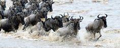 La réserve de Masaï Mara : troupeau de gnous