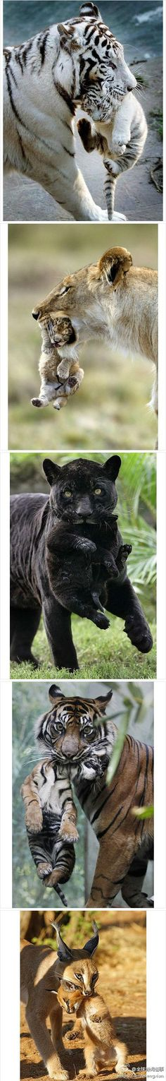 Big momma cats-- taking care of their cubs.
