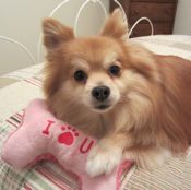 Finnigan 5 year old pom 5 Year Olds, Little Dogs, Rescue Dogs, Corgi, Cute, Animals, Doggies, Animales, Small Dogs