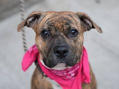 TO BE DESTOYED 12/14/14- Brooklyn Center -P My name is LALA. My Animal ID # is A1022046. I am a female br brindle and white am pit bull ter mix. The shelter thinks I am about 5 YEARS old. I came in the shelter as a STRAY on 12/01/2014 from NY 11224, owner surrender reason stated was STRAY.