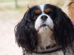 Jade King Charles Spaniel, Cavalier King Charles, Cutest Dog Ever, Spaniels, Cute Dogs, Jade, Animals, Animais, Animales