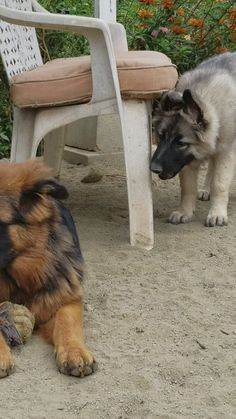 , Someone wants to play but someone else doesn't! , Someone wants to play but someone else doesn't! Black German Shepherd Puppies, Shiloh Shepherd, German Shepherd Training, German Shepherds, King German Shepherd, Pastor Rey, Caucasian Shepherd Dog, Caucasian Dog, Mutt Dog