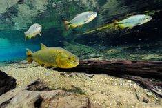 """The dorado (*Salminus brasiliensis*) is carnivore fish often called """"the river shark"""" because it's aggressive behavior towards other fish. Marcelo Krause: Pantanal"""