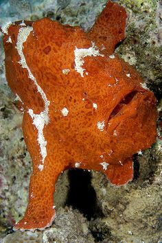 """Frogfish says: """"Hey. Spilling that bucket of orange paint on me wasn't very funny."""""""