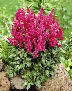 Bilde av JAPANSPIR 'KÖLN' Astilbe, Planters, Av, Flowers, Image, Plants, Photo Illustration, Florals, Plant