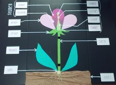 A. This site shows how to teach flower anatomy by creating a 3D flower model.  B. Students will create this 3D flower to learn the parts of a flower. Later the flowers will be displayed in the classroom. 3d Projects, Science Projects, School Projects, Projects For Kids, Plant Science, Science Fair, Physical Science, Flower Anatomy, Science Models