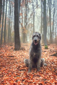 Irish Wolfhound Puppies, Irish Wolfhounds, Pet Dogs, Dog Cat, Doggies, Beautiful Dogs, Animals Beautiful, Glen Of Imaal Terrier, Scottish Deerhound
