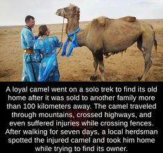 A loyal camel...