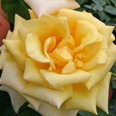 Rose Berolina