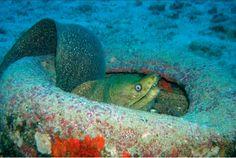 Green moray eel adopting an old tire as home, Galapagos Island, 2006