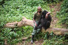 Mi amigo huérfano el gorila de montaña  En estas fotografías podemos ver a Patrick Karabaranga, uno de los empleados del orfanato para gorilas de montaña del Parque Nacional Virunga (República Democrática del Congo), y uno de los gorilas de montaña huérfanos a su cuidado.